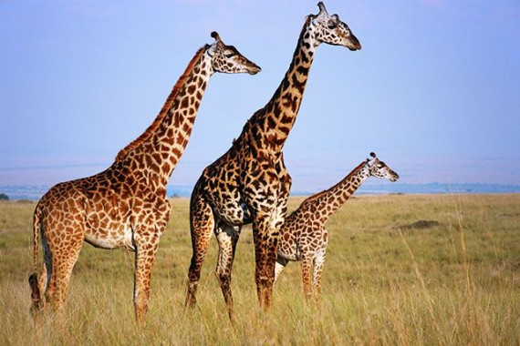 Giraffes become vulnerable to extinction