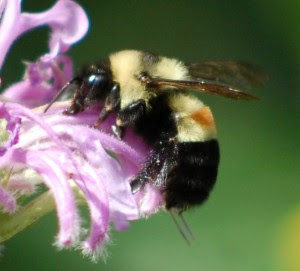 Species of bees are now endangered